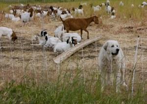 great pyrenees dog and sheep