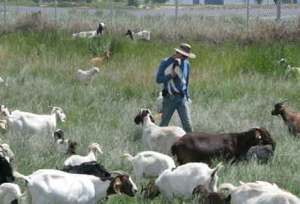 Blameless Goats