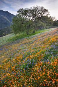 Poppies, lupine, and oaks, near El Portal, CA, USA