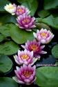 Blameless Flower 9