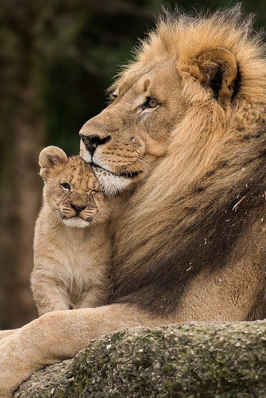 Blameless Lion 5
