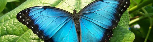 Blameless Blue Monarch Butterfly